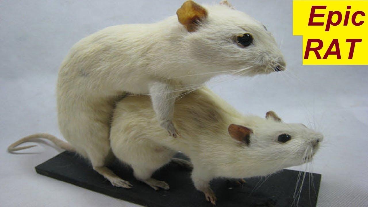 Lustige Ratten Bilder