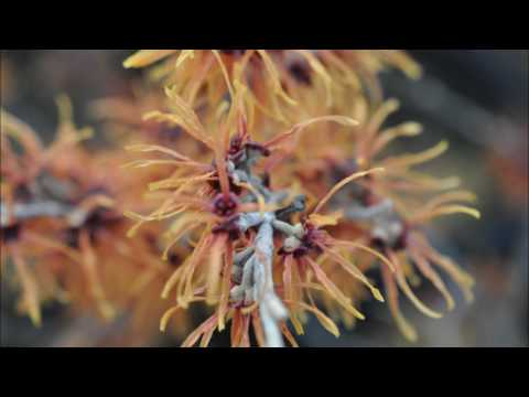 Witch Hazels in Bloom
