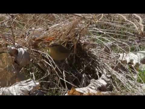 Worm-eating Warbler Foraging