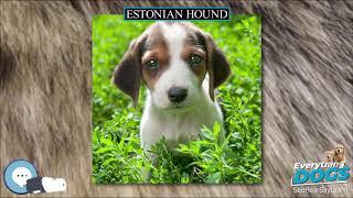 Estonian Hound  Everything Dog Breeds
