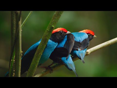 Manakin birds practice dance moves to impress females | Seve