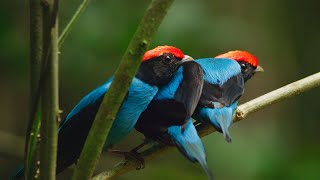 Manakin birds practice dance moves to impress females | Seven Worlds, One Planet | BBC Earth