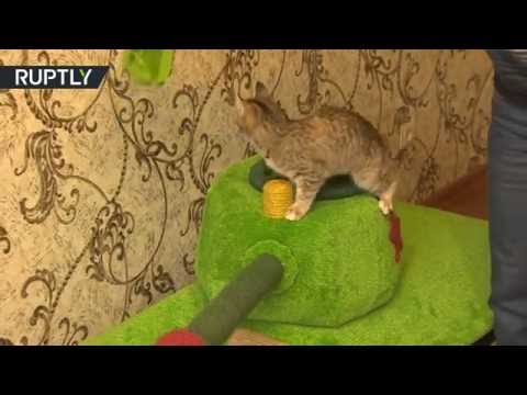 Siberian cat 'drives' his own tank and loves it