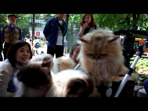 The cat man from Kyushu with his Himalayan and Chinchilla cats in Ikebukuro