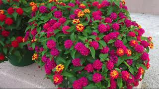 Cottage Farms 4-piece Bloomify Rose Lantana Collection on QVC
