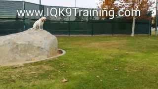 Iq K9 Training | Dog Training In Carlsbad With Labrador Retriever