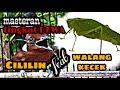 Masteran Cililin Vs Walang Kecek Jernih Terbaru   Mp3 - Mp4 Download