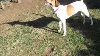 Treeing Walker Coonhound Chooses Hunting Over Food