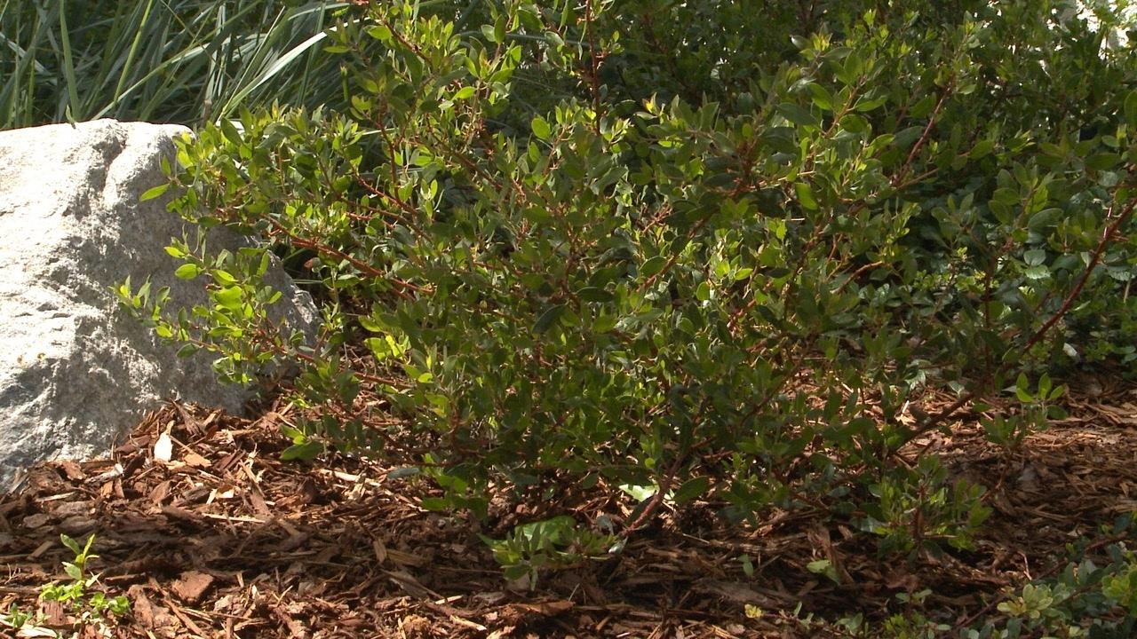 Howard McMinn Manzanita - California Native Dry Shade Garden - Ep.08 ...