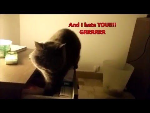 Murfi the Exotic Shorthair VS Medicines - FUNNY CAT