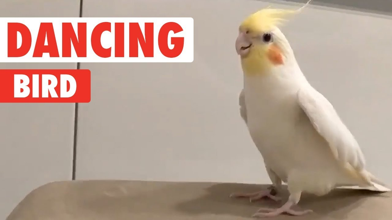Bird Tap Dances On Everything | Dancing Queen