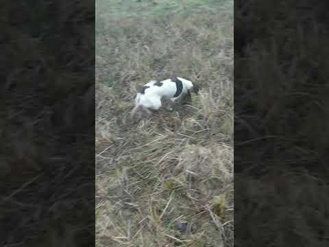 Carsoncroft Spaniel . Springer Spaniel Training On A Hunt Pattern
