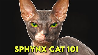Sphynx Cat 101  Must Watch BEFORE Getting One!