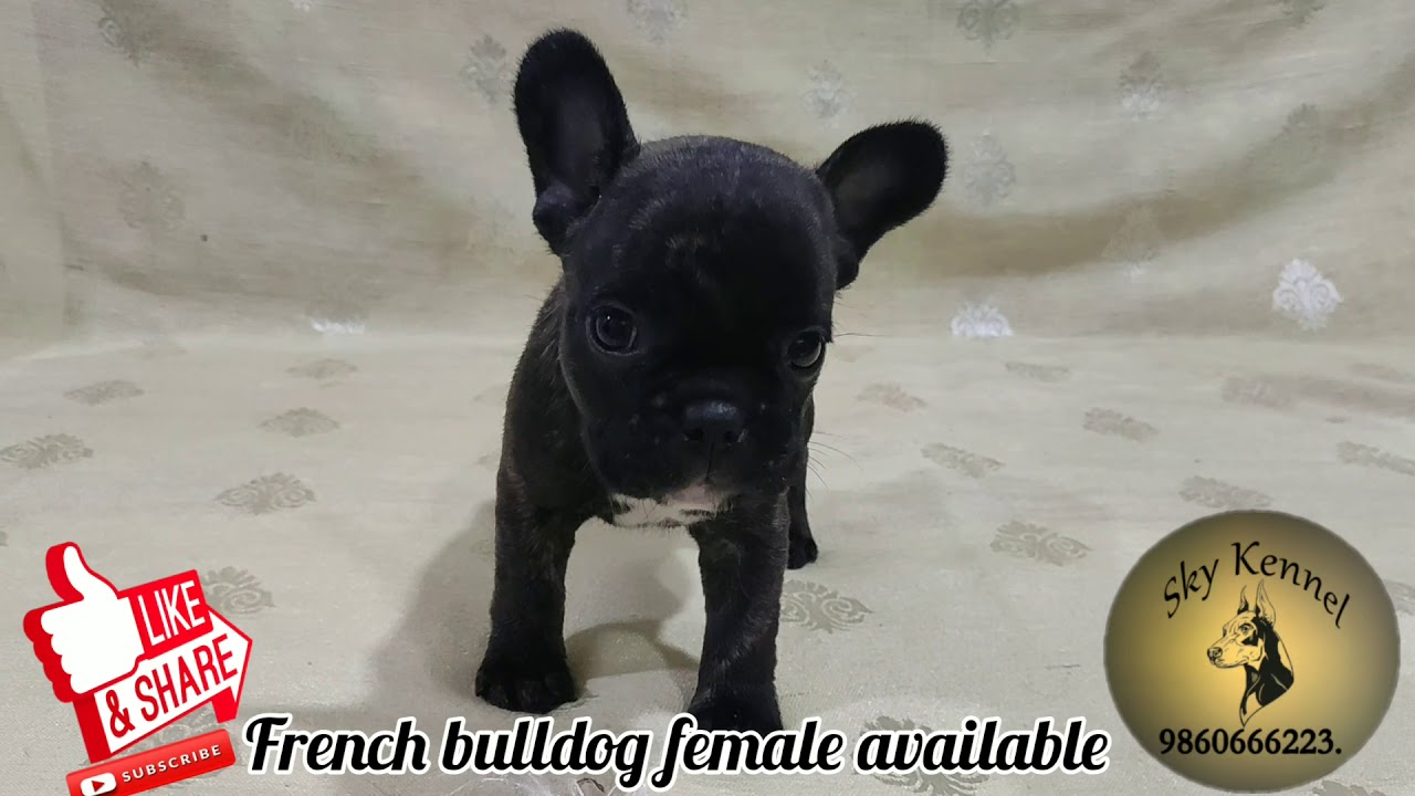French bulldog female puppy available at sky kennel in pune:-9860666223.