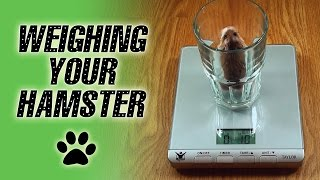 Weighing Your HAMSTER Thumbnail