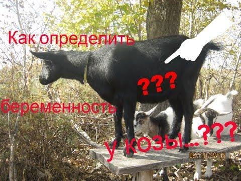 Пробую определить сукозность коз ...
