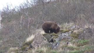 ОХОТА на МЕДВЕДЯ Bear Hunting www.туризи-сибири.рф