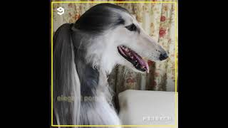 Afghan Hound has better hair styles than yours