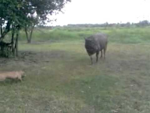 pitbull & buffalo @ rama3land