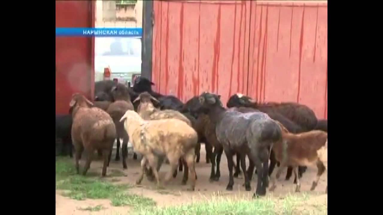 Чупакабра в Киргизии