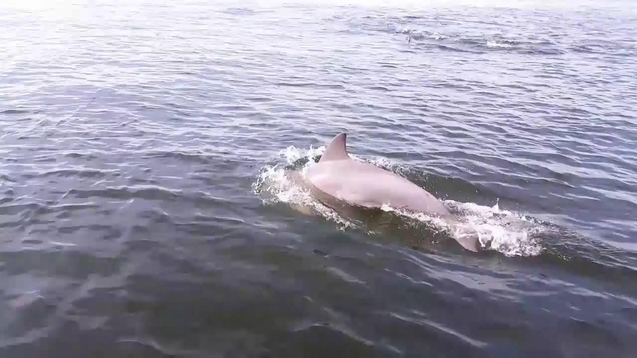 huuuuge pod of dolphins off of rockaway beach ny youtube