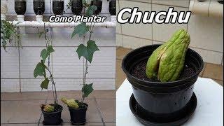 Como Plantar Chuchu da Forma mais Fácil