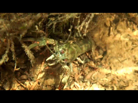 MONSTER River Shrimp And Crayfish ? ⭐⭐⭐⭐⭐ - Marks Shrimp Tanks