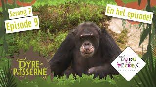 Sjimpansen Julius blir lei seg | Dyrepasserne S7E9 | Dyreparken thumbnail