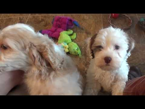 Repeat Cockapoo puppy training - 'Dill' lesson 12 by svsfilm