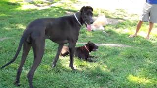 Puzzy The Shar Pei Versus The Great Dane Part 2