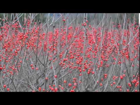 Locations for planting Winterberry Holly Shrubs