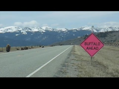 Bullock's Bison Plan: Bison to roam free near West Yellowstone