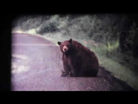 WHEN BEARS WERE FED IN YELLOWSTONE