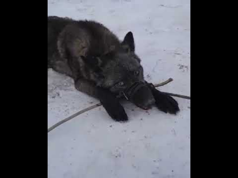 Кара каскырды устап алды аншылар! Охотники поймали Черный волк!