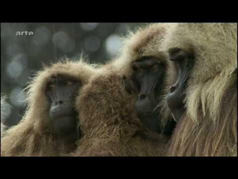 Paviane Äthiopien Baboon - Gelada