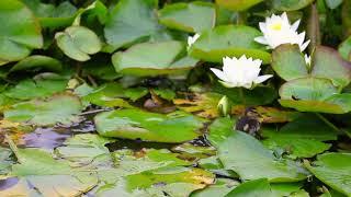 Cute Mallard chick searching for food, #cambridge  #UK #mallard #chick @lotus #pond #cambridege #cambridgeuniversity