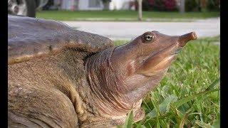 Черепаха. Дальневосточная. Китайский трионикс