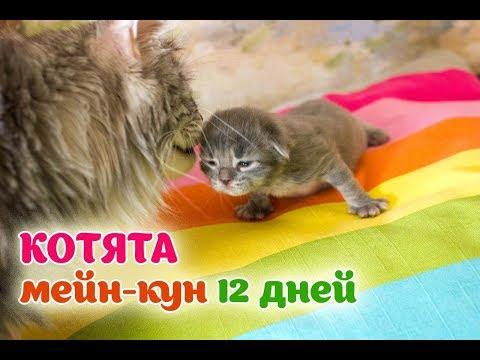 Котята мейн-кун 12 дней. Прибавка в весе котенка.