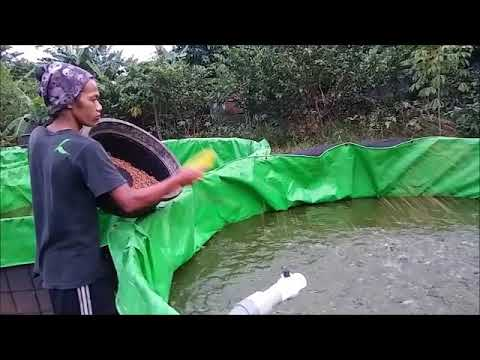 I Start A Catfish Farming Business In Tarpaulin Pond With REGULAR FEEDING
