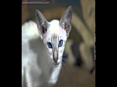 lynx colorpoint shorthair cat