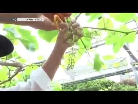 How Do Seedless Grapes Grow | BEGIN Japanology |