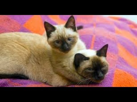 Things you NEVER knew about Siamese cats