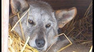 Спасение собаки, из тела которой извлекли 7 дробин