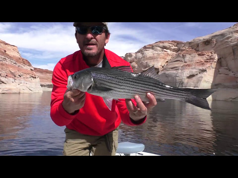 Lake Powell Striped Bass Fishing 101