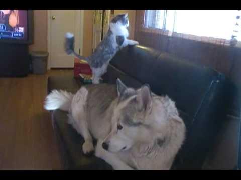 Kodiak the Alaskan Malamute And Her Cat Dusti
