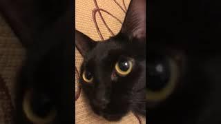 Абиссинская кошка метис.