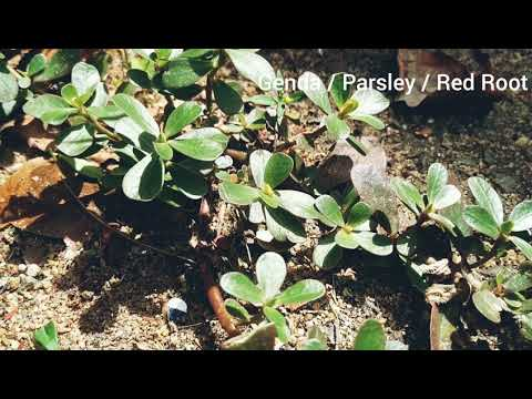 Genda, Portulaca oleracea, parsley, red root, common purslane