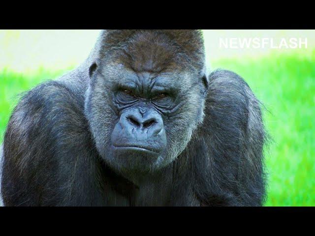 Joy As Critically Endangered Gorillas Celebrate Their Birthdays
