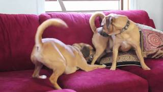 Hilarious Dog Video: Puggle Parkour!