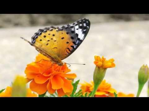 Butterflies & Flowers HD1080p
